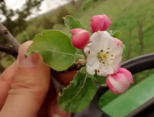 Apple Blossom picture
